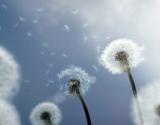 Didžiausias alergiškų žmonių priešas – žiedadulkės