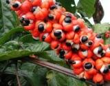 Guarana – energijos užtaisas iš Amazonės džiunglių