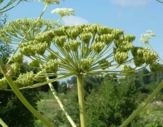 Dėmesio! Deginantys augalai